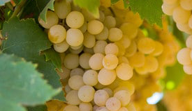 Varietal Grapes